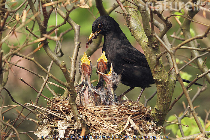 Eurasian Blackbird (Turdus merula) father feeding chicks in nest, Lower Saxony, Germany  ,  Adult, Baby, Begging, Bringing Food, Chick, Color Image, Day, Eurasian Blackbird, Father, Feeding, Five Animals, Full Length, Germany, Horizontal, Lower Saxony, Male, Nest, Nobody, Open Mouth, Outdoors, Parent, Parenting, Photography, Predator, Prey, Side View, Songbird, Turdus merula, Wildlife, Worm,Eurasian Blackbird,Germany  ,  Folkert Christoffers