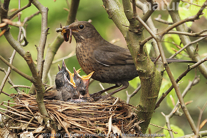 Eurasian Blackbird (Turdus merula) mother feeding chicks in nest, Lower Saxony, Germany  ,  Adult, Baby, Begging, Bringing Food, Chick, Color Image, Day, Eurasian Blackbird, Feeding, Female, Five Animals, Full Length, Germany, Horizontal, Lower Saxony, Mother, Nest, Nobody, Open Mouth, Outdoors, Parent, Parenting, Photography, Predator, Prey, Side View, Songbird, Turdus merula, Wildlife, Worm,Eurasian Blackbird,Germany  ,  Folkert Christoffers