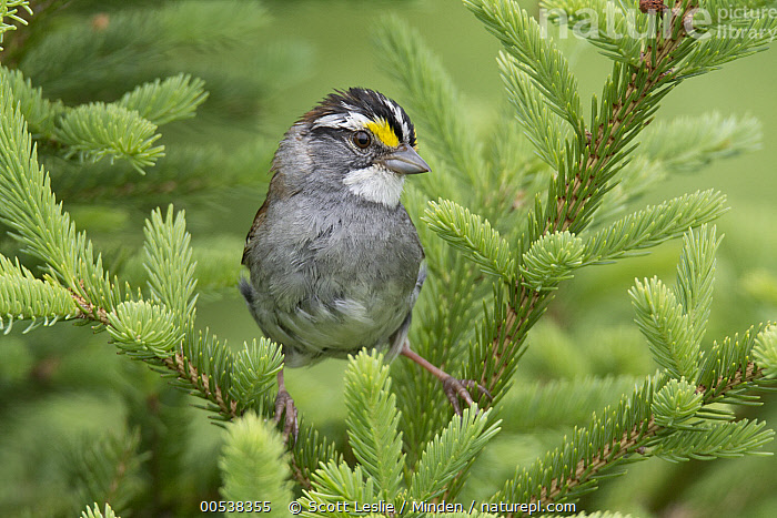 White-throated Sparrow (Zonotrichia albicollis) male in breeding plumage, Nova Scotia, Canada  ,  Adult, Breeding Plumage, Canada, Color Image, Day, Front View, Full Length, Horizontal, Male, Nobody, Nova Scotia, One Animal, Outdoors, Photography, Songbird, White-throated Sparrow, Wildlife, Zonotrichia albicollis,White-throated Sparrow,Canada,Adult, Breeding Plumage, Canada, Color Image, Day, Front View, Full Length, Horizontal, Male, Nobody, Nova Scotia, One Animal, Outdoors, Photography, Songbird, White-throated Sparrow, Wildlife, Zonotrichia albicollis  ,  Scott Leslie