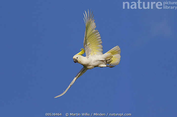 Sulphur-crested Cockatoo (Cacatua galerita) flying, Magnetic Island, Queensland, Australia  ,  Adult, Australia, Cacatua galerita, Color Image, Day, Flying, Full Length, Horizontal, Low Angle View, Magnetic Island, Motion, Nobody, One Animal, Outdoors, Parrot, Photography, Queensland, Side View, Sulphur-crested Cockatoo, Wildlife,Sulphur-crested Cockatoo,Australia  ,  Martin Willis