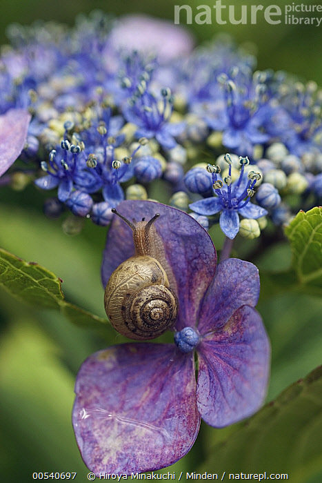 Snail (Euhadra peliomphala) on Hydrangea (Hydrangea sp) flower, Japan  ,  Adult, Color Image, Day, Euhadra peliomphala, Flower, Full Length, Hydrangea, Hydrangea sp, Japan, Nobody, One Animal, Outdoors, Photography, Snail, Top View, Vertical, Wildlife,Adult, Color Image, Day, Euhadra peliomphala, Flower, Full Length, Hydrangea, Hydrangea sp, Japan, Nobody, One Animal, Outdoors, Photography, Snail, Top View, Vertical, Wildlife  ,  Hiroya Minakuchi