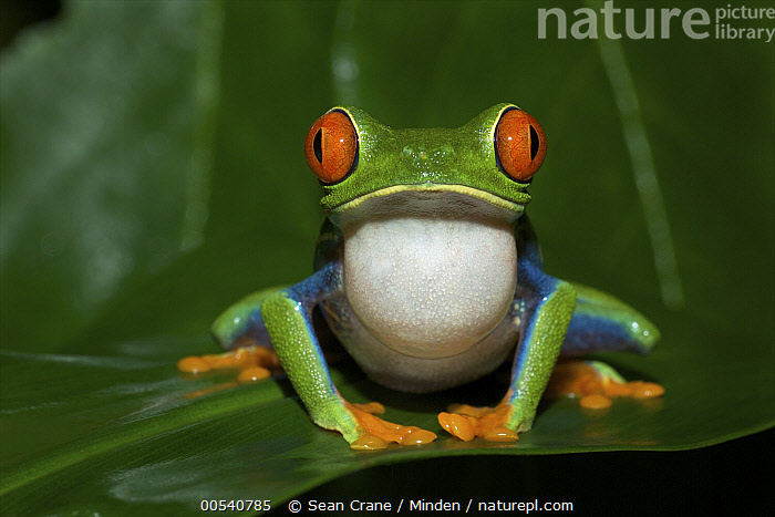 Red-eyed Tree Frog (Agalychnis callidryas) calling, Tortuguero National Park, Costa Rica, Adult, Agalychnis callidryas, Calling, Color Image, Costa Rica, Croaking, Day, Front View, Full Length, Horizontal, Looking at Camera, Nobody, One Animal, Outdoors, Photography, Red-eyed Tree Frog, Tortuguero National Park, Vocal Sac, Wildlife,Red-eyed Tree Frog,Costa Rica, Sean Crane