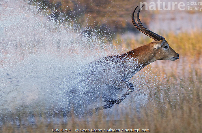 Lechwe (Kobus leche) running through water, Okavango Delta, Botswana, Adult, Botswana, Color Image, Day, Full Length, Horizontal, Kobus leche, Lechwe, Male, Motion, Nobody, Okavango Delta, One Animal, Outdoors, Photography, Running, Side View, Speed, Splashing, Wildlife,Lechwe,Botswana, Sean Crane