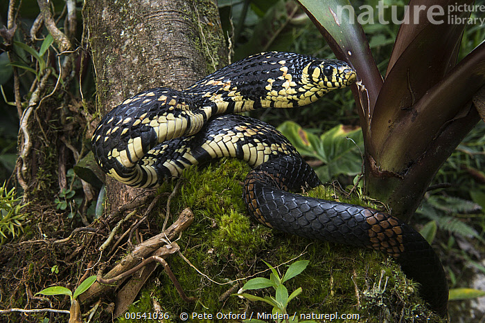 Tropical Rat Snake (Spilotes pullatus) in defensive posture, native to South America  ,  Adult, Arboreal, Captive, Color Image, Day, Defensive Posture, Displaying, Horizontal, Nobody, One Animal, Outdoors, Photography, Side View, Spilotes pullatus, Tropical Rat Snake, Waist Up, Wildlife,Tropical Rat Snake  ,  Pete Oxford