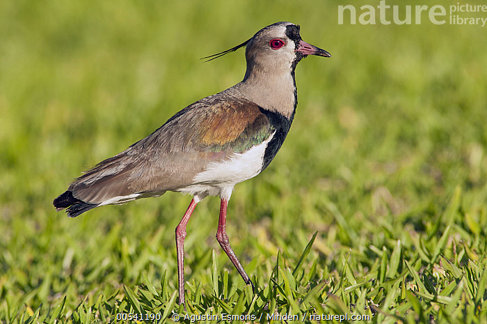 Southern Lapwing (Vanellus chilensis), Misiones, Argentina  ,  Adult, Argentina, Color Image, Day, Full Length, Horizontal, Misiones, Nobody, One Animal, Outdoors, Photography, Shorebird, Side View, Southern Lapwing, Vanellus chilensis, Wildlife,Southern Lapwing,Argentina  ,  Agustin Esmoris