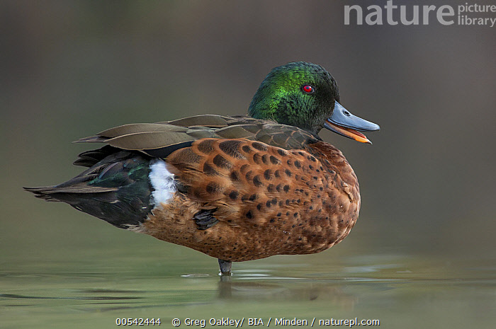 Chestnut Teal (Anas castanea) male calling, Victoria, Australia  ,  Adult, Anas castanea, Australia, Calling, Chestnut Teal, Color Image, Day, Drake, Full Length, Horizontal, Male, Nobody, One Animal, Open Mouth, Outdoors, Photography, Side View, Victoria, Waterfowl, Wildlife,Chestnut Teal,Australia,Adult, Anas castanea, Australia, Calling, Chestnut Teal, Color Image, Day, Drake, Full Length, Horizontal, Male, Nobody, One Animal, Open Mouth, Outdoors, Photography, Side View, Victoria, Waterfowl, Wildlife  ,  Greg Oakley