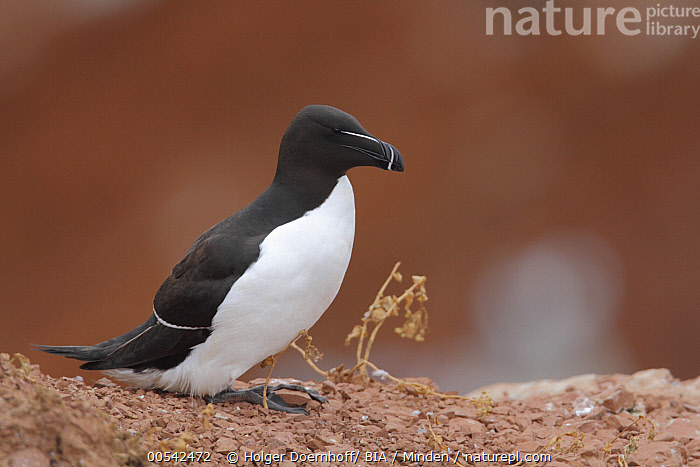 Razorbill (Alca torda), Schleswing-Holstein, Germany  ,  Adult, Alca torda, Color Image, Day, Full Length, Germany, Horizontal, Nobody, One Animal, Outdoors, Photography, Razorbill, Schleswig-Holstein, Seabird, Side View, Wildlife,Razorbill,Germany  ,  Holger Doernhoff