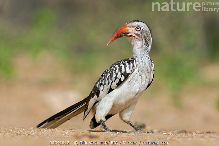Red-billed Hornbill (Tockus erythrorhynchus), Kruger National Park, South Africa  ,  Adult, Color Image, Day, Full Length, Horizontal, Kruger National Park, Nobody, One Animal, Outdoors, Photography, Red-billed Hornbill, Side View, South Africa, Tockus erythrorhynchus, Wildlife,Red-billed Hornbill,South Africa  ,  Dirk Vorbusch