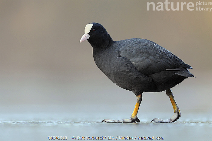 Coot (Fulica atra), North Rhine-Westphalia, Germany  ,  Adult, Color Image, Coot, Day, Fulica atra, Full Length, Germany, Horizontal, Nobody, North Rhine-Westphalia, One Animal, Outdoors, Photography, Side View, Water Bird, Wildlife,Coot,Germany  ,  Dirk Vorbusch
