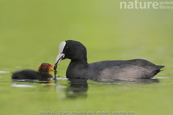 Coot (Fulica atra) parent feeding chick, North Rhine-Westphalia, Germany  ,  Adult, Baby, Bringing Food, Carrying, Chick, Color Image, Coot, Day, Feeding, Fulica atra, Full Length, Germany, Horizontal, Nobody, North Rhine-Westphalia, Outdoors, Parent, Parenting, Photography, Side View, Two Animals, Water Bird, Wildlife,Coot,Germany  ,  Dirk Vorbusch