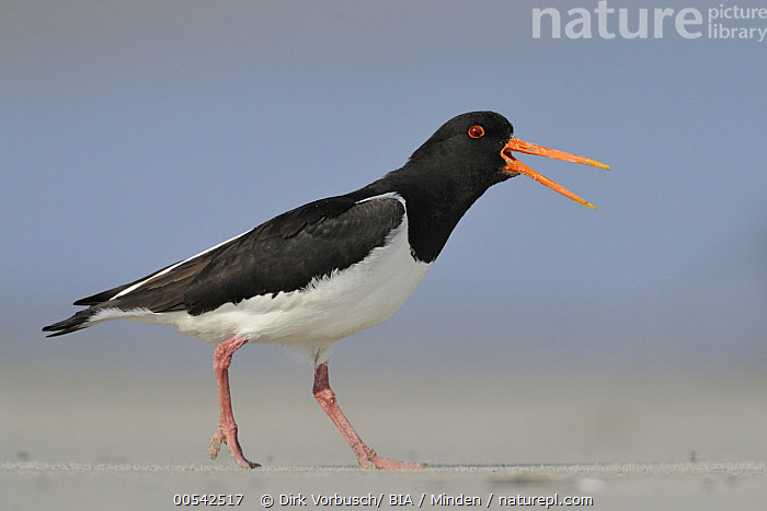 Eurasian Oystercatcher (Haematopus ostralegus) calling, Schleswig-Holstein, Germany  ,  Adult, Calling, Color Image, Day, Eurasian Oystercatcher, Full Length, Germany, Haematopus ostralegus, Horizontal, Nobody, One Animal, Open Mouth, Outdoors, Photography, Schleswig-Holstein, Shorebird, Side View, Wildlife,Eurasian Oystercatcher,Germany  ,  Dirk Vorbusch
