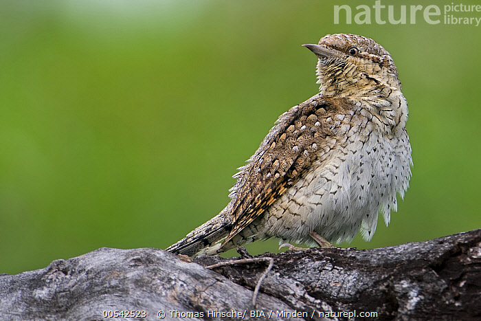 Eurasian Wryneck (Jynx torquilla), Saxony-Anhalt, Germany  ,  Adult, Color Image, Day, Eurasian Wryneck, Full Length, Germany, Horizontal, Jynx torquilla, Nobody, One Animal, Outdoors, Photography, Saxony-Anhalt, Side View, Wildlife,Eurasian Wryneck,Germany,Adult, Color Image, Day, Eurasian Wryneck, Full Length, Germany, Horizontal, Jynx torquilla, Nobody, One Animal, Outdoors, Photography, Saxony-Anhalt, Side View, Wildlife  ,  Thomas Hinsche