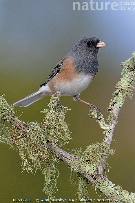 Pink-sided Junco (Junco hyemalis mearnsi), New Mexico  ,  Adult, Color Image, Day, Full Length, Junco hyemalis mearnsi, New Mexico, Nobody, One Animal, Outdoors, Photography, Pink-sided Junco, Side View, Songbird, Vertical, Wildlife,Pink-sided Junco,New Mexico, USA,Adult, Color Image, Day, Full Length, Junco hyemalis mearnsi, New Mexico, Nobody, One Animal, Outdoors, Photography, Pink-sided Junco, Side View, Songbird, Vertical, Wildlife  ,  Alan Murphy