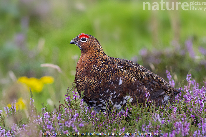 Red Grouse (Lagopus scoticus) male, Yorkshire, United Kingdom  ,  Adult, Color Image, Day, England, Full Length, Gamebird, Horizontal, Lagopus scoticus, Male, Nobody, One Animal, Outdoors, Photography, Red Grouse, Side View, United Kingdom, Wildlife, Yorkshire,Red Grouse,United Kingdom  ,  Gerhard Hofmann