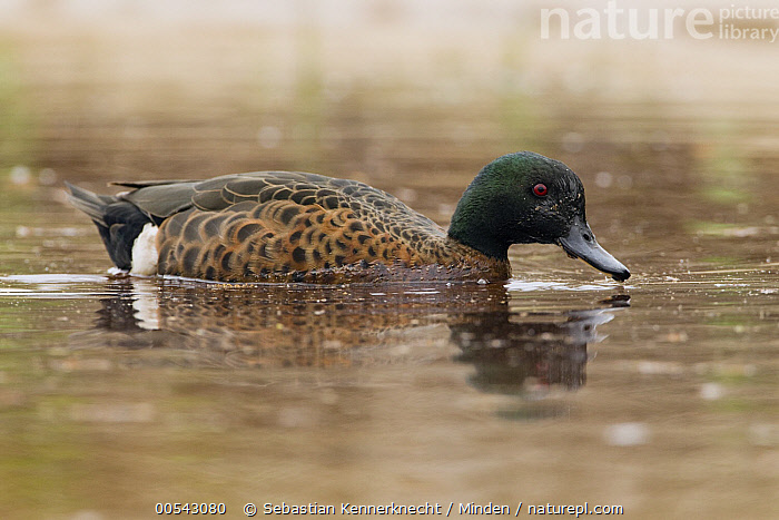 Chestnut Teal (Anas castanea) drake swimming, Murramarang Beach, Murramarang National Park, New South Wales, Australia  ,  Adult, Anas castanea, Australia, Chestnut Teal, Color Image, Day, Drake, Endemic, Full Length, Horizontal, Male, Murramarang National Park, Murramarang Beach, New South Wales, Nobody, One Animal, Outdoors, Photography, Side View, Swimming, Waterfowl, Wildlife,Chestnut Teal,Australia  ,  Sebastian Kennerknecht
