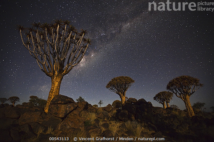 Quiver Tree (Aloe dichotoma) group and the Milky Way, Keetmanshoop, Namibia, Aloe dichotoma, Color Image, Horizontal, Keetmanshoop, Landscape, Milky Way, Mother Nature, Namibia, Night, Nobody, Outdoors, Photography, Quiver Tree, Sky, Star,Quiver Tree,Namibia, Vincent Grafhorst