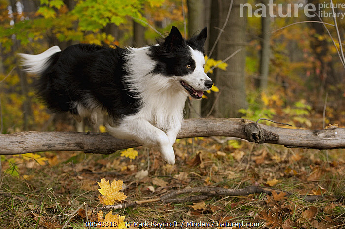 Border Collie (Canis familiaris) jumping over branch  ,  Adult, Black And White, Border Collie, Canis familiaris, Color Image, Day, Full Length, Horizontal, Jumping, Nobody, One Animal, Outdoors, Photography, Side View,Border Collie,Adult, Black And White, Border Collie, Canis familiaris, Color Image, Day, Full Length, Horizontal, Jumping, Nobody, One Animal, Outdoors, Photography, Side View  ,  Mark Raycroft