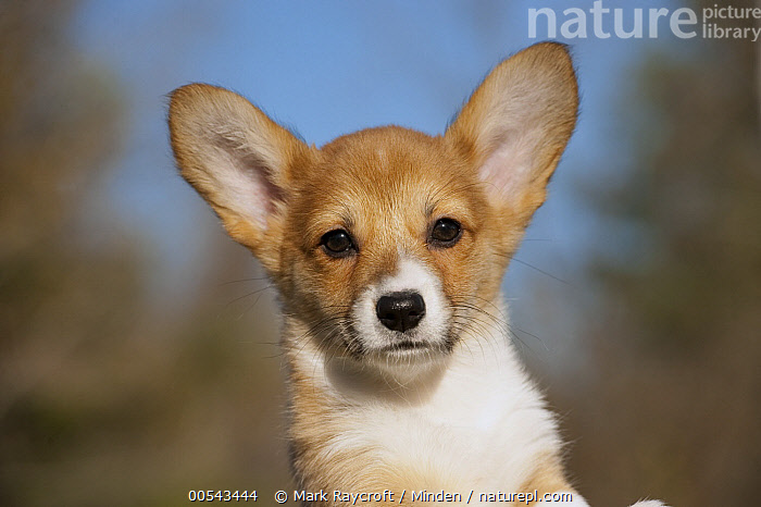 Pembroke Welsh Corgi (Canis familiaris) puppy  ,  Baby, Canis familiaris, Close Up, Color Image, Day, Front View, Head and Shoulders, Horizontal, Nobody, One Animal, Outdoors, Pembroke Welsh Corgi, Photography, Portrait, Puppy,Pembroke Welsh Corgi,Baby, Canis familiaris, Close Up, Color Image, Day, Front View, Head and Shoulders, Horizontal, Nobody, One Animal, Outdoors, Pembroke Welsh Corgi, Photography, Portrait, Puppy  ,  Mark Raycroft