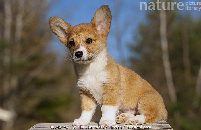 Pembroke Welsh Corgi (Canis familiaris) puppy  ,  Baby, Canis familiaris, Color Image, Cute, Day, Full Length, Horizontal, Nobody, One Animal, Outdoors, Pembroke Welsh Corgi, Photography, Puppy, Side View,Pembroke Welsh Corgi,Baby, Canis familiaris, Color Image, Cute, Day, Full Length, Horizontal, Nobody, One Animal, Outdoors, Pembroke Welsh Corgi, Photography, Puppy, Side View  ,  Mark Raycroft