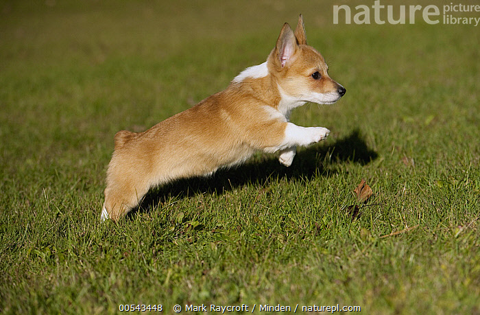 Pembroke Welsh Corgi (Canis familiaris) puppy running  ,  Baby, Canis familiaris, Color Image, Cute, Day, Full Length, Horizontal, Leaping, Nobody, One Animal, Outdoors, Pembroke Welsh Corgi, Photography, Puppy, Running, Side View,Pembroke Welsh Corgi,Baby, Canis familiaris, Color Image, Cute, Day, Full Length, Horizontal, Leaping, Nobody, One Animal, Outdoors, Pembroke Welsh Corgi, Photography, Puppy, Running, Side View  ,  Mark Raycroft