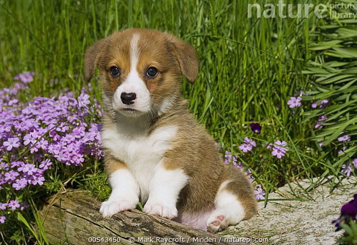 Pembroke Welsh Corgi (Canis familiaris) puppy  ,  Baby, Canis familiaris, Color Image, Cute, Day, Full Length, Horizontal, Looking at Camera, Nobody, One Animal, Outdoors, Pembroke Welsh Corgi, Photography, Puppy, Side View, Welsh Corgi,Pembroke Welsh Corgi,Baby, Canis familiaris, Color Image, Cute, Day, Full Length, Horizontal, Looking at Camera, Nobody, One Animal, Outdoors, Pembroke Welsh Corgi, Photography, Puppy, Side View, Welsh Corgi  ,  Mark Raycroft