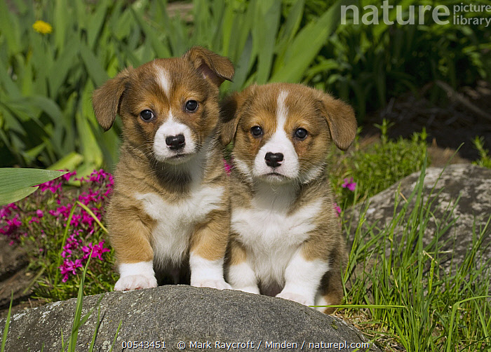 Pembroke Welsh Corgi (Canis familiaris) puppies  ,  Baby, Canis familiaris, Color Image, Cute, Day, Friend, Front View, Full Length, Horizontal, Looking at Camera, Nobody, Outdoors, Pembroke Welsh Corgi, Photography, Puppy, Togetherness, Two Animals, Welsh Corgi,Pembroke Welsh Corgi,Baby, Canis familiaris, Color Image, Cute, Day, Friend, Front View, Full Length, Horizontal, Looking at Camera, Nobody, Outdoors, Pembroke Welsh Corgi, Photography, Puppy, Togetherness, Two Animals, Welsh Corgi  ,  Mark Raycroft