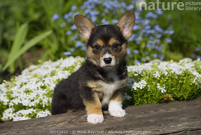 Pembroke Welsh Corgi (Canis familiaris) puppy  ,  Baby, Canis familiaris, Color Image, Cute, Day, Front View, Full Length, Horizontal, Looking at Camera, Nobody, One Animal, Outdoors, Pembroke Welsh Corgi, Photography, Puppy, Welsh Corgi,Pembroke Welsh Corgi,Baby, Canis familiaris, Color Image, Cute, Day, Front View, Full Length, Horizontal, Looking at Camera, Nobody, One Animal, Outdoors, Pembroke Welsh Corgi, Photography, Puppy, Welsh Corgi  ,  Mark Raycroft