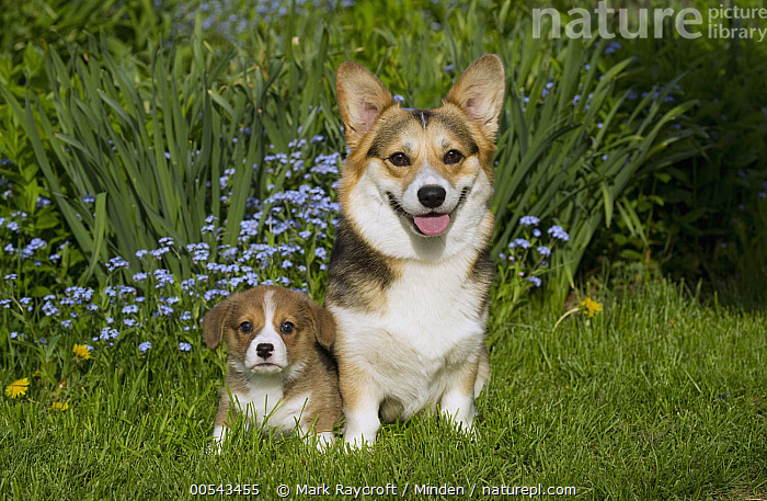 Pembroke Welsh Corgi (Canis familiaris) parent and puppy  ,  Adult, Baby, Canis familiaris, Color Image, Day, Front View, Full Length, Horizontal, Looking at Camera, Nobody, Outdoors, Parent, Pembroke Welsh Corgi, Photography, Puppy, Togetherness, Two Animals, Welsh Corgi,Pembroke Welsh Corgi,Adult, Baby, Canis familiaris, Color Image, Day, Front View, Full Length, Horizontal, Looking at Camera, Nobody, Outdoors, Parent, Pembroke Welsh Corgi, Photography, Puppy, Togetherness, Two Animals, Welsh Corgi  ,  Mark Raycroft