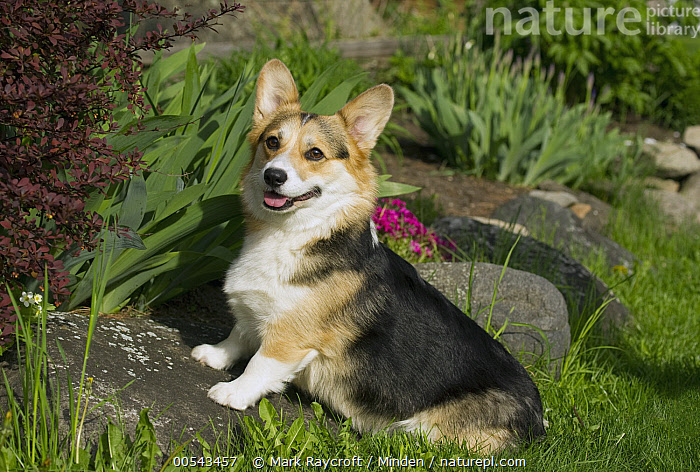 Pembroke Welsh Corgi (Canis familiaris)  ,  Adult, Canis familiaris, Color Image, Day, Full Length, Horizontal, Nobody, One Animal, Outdoors, Pembroke Welsh Corgi, Photography, Side View, Welsh Corgi,Pembroke Welsh Corgi,Adult, Canis familiaris, Color Image, Day, Full Length, Horizontal, Nobody, One Animal, Outdoors, Pembroke Welsh Corgi, Photography, Side View, Welsh Corgi  ,  Mark Raycroft