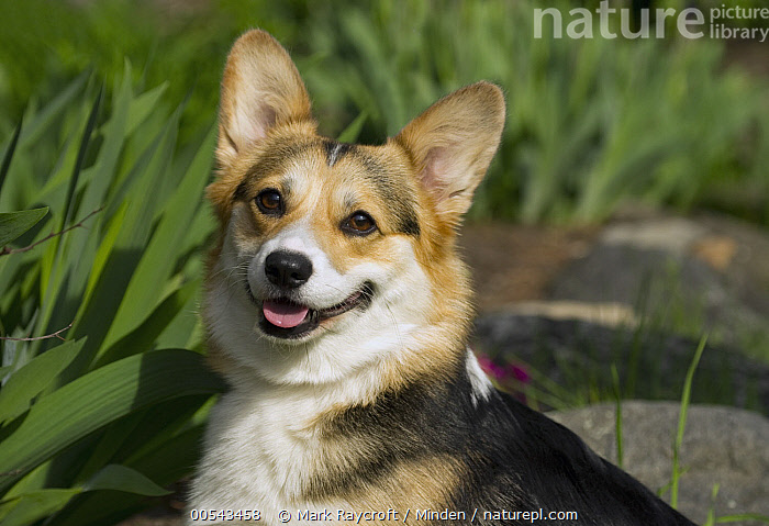 Pembroke Welsh Corgi (Canis familiaris)  ,  Adult, Canis familiaris, Color Image, Day, Horizontal, Looking at Camera, Nobody, One Animal, Outdoors, Pembroke Welsh Corgi, Photography, Side View, Waist Up, Welsh Corgi,Pembroke Welsh Corgi,Adult, Canis familiaris, Color Image, Day, Horizontal, Looking at Camera, Nobody, One Animal, Outdoors, Pembroke Welsh Corgi, Photography, Side View, Waist Up, Welsh Corgi  ,  Mark Raycroft