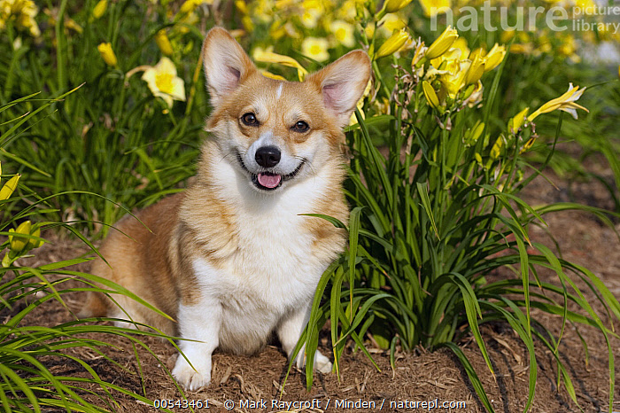 Pembroke Welsh Corgi (Canis familiaris)  ,  Adult, Canis familiaris, Color Image, Day, Front View, Full Length, Horizontal, Looking at Camera, Nobody, One Animal, Outdoors, Pembroke Welsh Corgi, Photography, Welsh Corgi,Pembroke Welsh Corgi,Adult, Canis familiaris, Color Image, Day, Front View, Full Length, Horizontal, Looking at Camera, Nobody, One Animal, Outdoors, Pembroke Welsh Corgi, Photography, Welsh Corgi  ,  Mark Raycroft