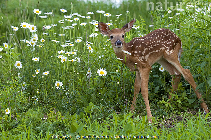 White-tailed Deer (Odocoileus virginianus) fawn, Baby, Color Image, Day, Fawn, Full Length, Horizontal, Looking at Camera, Nobody, Odocoileus virginianus, One Animal, Outdoors, Photography, Side View, Spotted, White-tailed Deer, Wildlife,White-tailed Deer, Mark Raycroft