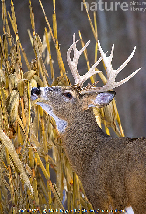 White-tailed Deer (Odocoileus virginianus) buck browsing, Adult, Browsing, Buck, Color Image, Day, Male, Nobody, Odocoileus virginianus, One Animal, Outdoors, Photography, Side View, Vertical, Waist Up, White-tailed Deer, Wildlife,White-tailed Deer, Mark Raycroft