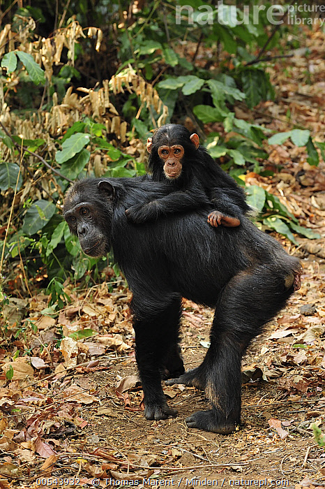 Eastern Chimpanzee (Pan troglodytes schweinfurthii) mother with baby, Gombe Stream National Park, Tanzania, Adult, Baby, Carrying, Color Image, Day, Eastern Chimpanzee, Female, Full Length, Gombe Stream National Park, Looking at Camera, Mother, Nobody, Outdoors, Pan troglodytes schweinfurthii, Parent, Photography, Riding, Side View, Tanzania, Togetherness, Two Animals, Vertical, Wildlife, Young,Eastern Chimpanzee,Tanzania, Thomas Marent