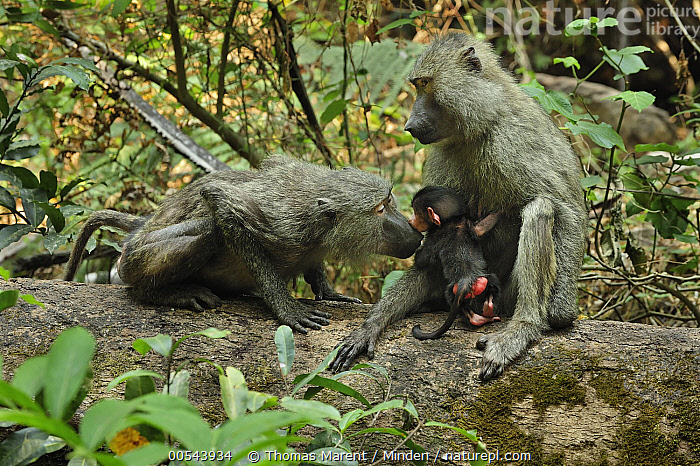 Olive Baboon (Papio anubis) mother and young smelling each other, Gombe Stream National Park, Tanzania  ,  Adult, Baby, Color Image, Day, Female, Full Length, Gombe Stream National Park, Horizontal, Mother, Nobody, Olive Baboon, Outdoors, Papio anubis, Parent, Photography, Rear View, Side View, Smelling, Tanzania, Three Animals, Wildlife, Young,Olive Baboon,Tanzania,Adult, Baby, Color Image, Day, Female, Full Length, Gombe Stream National Park, Horizontal, Mother, Nobody, Olive Baboon, Outdoors, Papio anubis, Parent, Photography, Rear View, Side View, Smelling, Tanzania, Three Animals, Wildlife, Young  ,  Thomas Marent