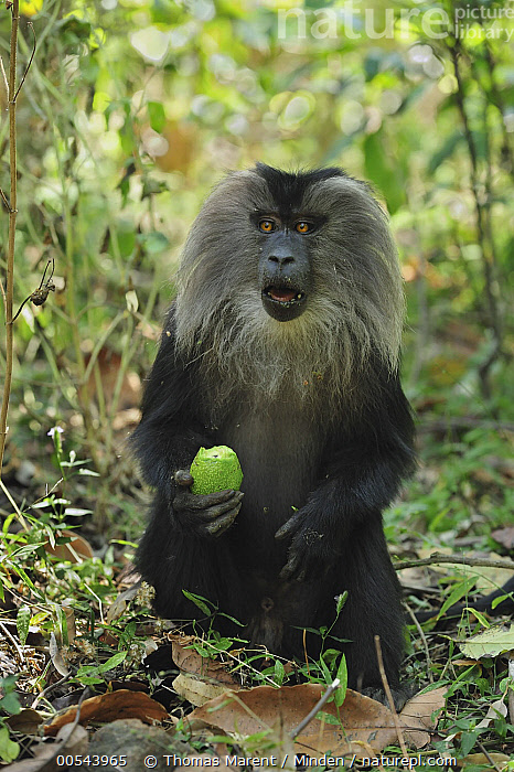 Lion-tailed Macaque (Macaca silenus) feeding on Avocado, Western Ghats, India  ,  Adult, Avocado, Color Image, Day, Endangered Species, Feeding, Front View, Fruit, Full Length, India, Lion-tailed Macaque, Macaca silenus, Nobody, One Animal, Outdoors, Photography, Vertical, Western Ghats, Wildlife,Lion-tailed Macaque,India,Adult, Avocado, Color Image, Day, Endangered Species, Feeding, Front View, Fruit, Full Length, India, Lion-tailed Macaque, Macaca silenus, Nobody, One Animal, Outdoors, Photography, Vertical, Western Ghats, Wildlife  ,  Thomas Marent