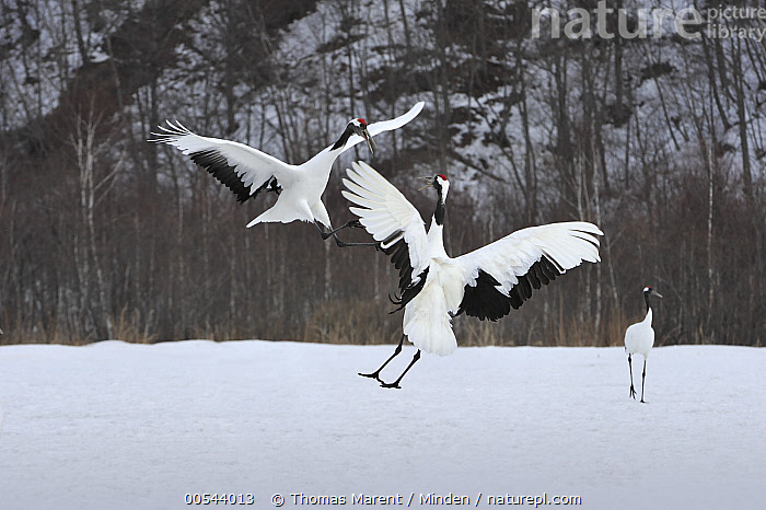 Red-crowned Crane (Grus japonensis) pair courting, Tsurui Ito Sanctuary, Hokkaido, Japan, Adult, Color Image, Courting, Dancing, Day, Displaying, Endangered Species, Female, Flying, Full Length, Grus japonensis, Hokkaido, Horizontal, Japan, Male, Nobody, Outdoors, Photography, Red-crowned Crane, Side View, Three Animals, Tsurui Ito Sanctuary, Wildlife,Red-crowned Crane,Japan, Thomas Marent