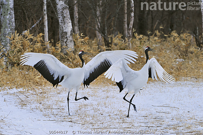 Red-crowned Crane (Grus japonensis) pair courting, Tsurui Ito Sanctuary, Hokkaido, Japan, Adult, Color Image, Courting, Dancing, Day, Displaying, Endangered Species, Female, Full Length, Grus japonensis, Hokkaido, Horizontal, Japan, Male, Nobody, Outdoors, Photography, Red-crowned Crane, Side View, Spreading Wings, Togetherness, Tsurui Ito Sanctuary, Two Animals, Wildlife,Red-crowned Crane,Japan, Thomas Marent