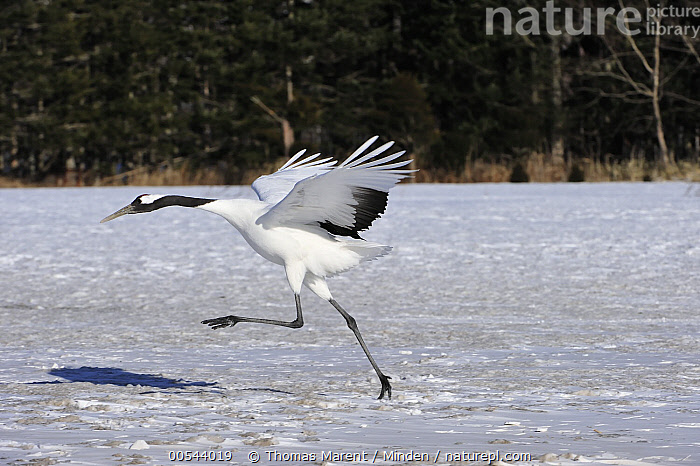 Red-crowned Crane (Grus japonensis) taking flight, Tsurui Ito Sanctuary, Hokkaido, Japan, Adult, Color Image, Day, Endangered Species, Flying, Full Length, Grus japonensis, Hokkaido, Horizontal, Japan, Nobody, One Animal, Outdoors, Photography, Red-crowned Crane, Running, Side View, Taking Flight, Tsurui Ito Sanctuary, Wildlife,Red-crowned Crane,Japan, Thomas Marent