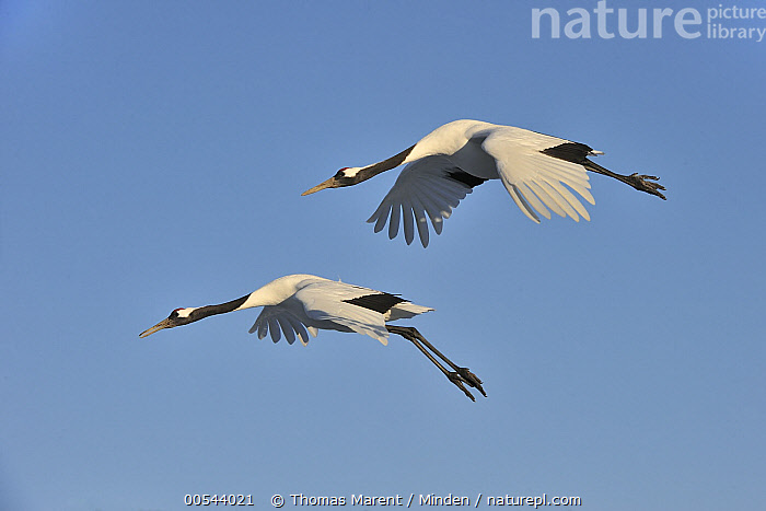 Red-crowned Crane (Grus japonensis) pair flying, Tsurui Ito Sanctuary, Hokkaido, Japan, Adult, Color Image, Day, Endangered Species, Flying, Full Length, Grus japonensis, Hokkaido, Horizontal, Japan, Nobody, Outdoors, Photography, Red-crowned Crane, Side View, Togetherness, Tsurui Ito Sanctuary, Two Animals, Wildlife,Red-crowned Crane,Japan, Thomas Marent