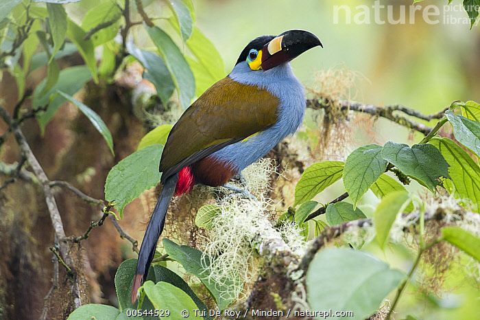 Plate-billed Mountain-Toucan (Andigena laminirostris), Andes, Ecuador  ,  Adult, Andigena laminirostris, Color Image, Day, Full Length, Horizontal, Nobody, One Animal, Outdoors, Photography, Plate-billed Mountain-Toucan, Side View, Wildlife,Plate-billed Mountain-Toucan,Ecuador,Adult, Andigena laminirostris, Color Image, Day, Full Length, Horizontal, Nobody, One Animal, Outdoors, Photography, Plate-billed Mountain-Toucan, Side View, Wildlife  ,  Tui De Roy
