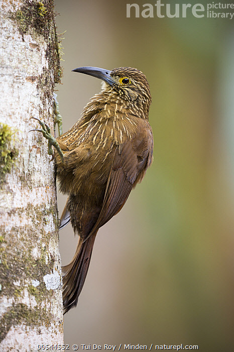 Strong-billed Woodcreeper (Xiphocolaptes promeropirhynchus), Bellavista Cloud Forest Reserve, Tandayapa Valley, Andes, Ecuador  ,  Adult, Andes, Bellavista Cloud Forest Reserve, Color Image, Day, Ecuador, Full Length, Nobody, One Animal, Outdoors, Photography, Side View, Strong-billed Woodcreeper, Tandayapa Valley, Vertical, Wildlife, Xiphocolaptes promeropirhynchus,Strong-billed Woodcreeper,Ecuador  ,  Tui De Roy
