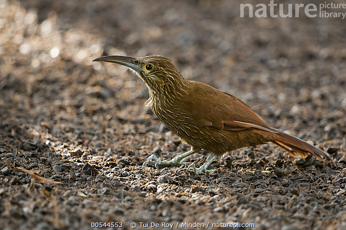 Strong-billed Woodcreeper (Xiphocolaptes promeropirhynchus), Bellavista Cloud Forest Reserve, Tandayapa Valley, Andes, Ecuador  ,  Adult, Andes, Bellavista Cloud Forest Reserve, Color Image, Day, Ecuador, Full Length, Horizontal, Nobody, One Animal, Outdoors, Photography, Side View, Strong-billed Woodcreeper, Tandayapa Valley, Wildlife, Xiphocolaptes promeropirhynchus,Strong-billed Woodcreeper,Ecuador,Adult, Andes, Bellavista Cloud Forest Reserve, Color Image, Day, Ecuador, Full Length, Horizontal, Nobody, One Animal, Outdoors, Photography, Side View, Strong-billed Woodcreeper, Tandayapa Valley, Wildlife, Xiphocolaptes promeropirhynchus  ,  Tui De Roy