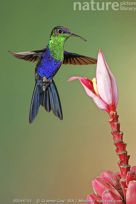 Violet-crowned Woodnymph (Thalurania colombica) hummingbird male feeding on flower nectar, Costa Rica  ,  Adult, Color Image, Costa Rica, Day, Feeding, Flower, Flying, Full Length, High Speed, Hovering, Hummingbird, Iridescent, Male, Nectar, Nobody, One Animal, Outdoors, Photography, Side View, Thalurania colombica, Vertical, Violet-crowned Woodnymph, Wildlife,Violet-crowned Woodnymph,Costa Rica  ,  Graeme Guy