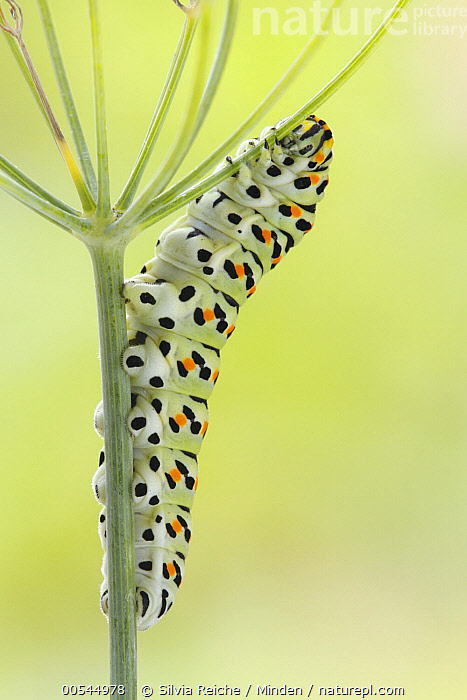 Oldworld Swallowtail (Papilio machaon) caterpillar on fennel, Netherlands  ,  Adult, Caterpillar, Color Image, Day, Fennel, Full Length, Netherlands, Nobody, Oldworld Swallowtail, One Animal, Outdoors, Papilio machaon, Photography, Side View, Vertical, Wildlife,Oldworld Swallowtail,Netherlands,Adult, Caterpillar, Color Image, Day, Fennel, Full Length, Netherlands, Nobody, Oldworld Swallowtail, One Animal, Outdoors, Papilio machaon, Photography, Side View, Vertical, Wildlife  ,  Silvia Reiche