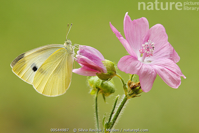 Cabbage White (Pieris rapae) butterfly on flower, Netherlands  ,  Adult, Butterfly, Cabbage White, Color Image, Day, Full Length, Horizontal, Netherlands, Nobody, One Animal, Outdoors, Photography, Pieris rapae, Side View, Wildlife,Cabbage White,Netherlands,Adult, Butterfly, Cabbage White, Color Image, Day, Full Length, Horizontal, Netherlands, Nobody, One Animal, Outdoors, Photography, Pieris rapae, Side View, Wildlife  ,  Silvia Reiche