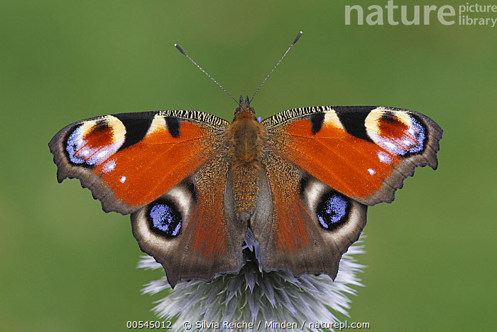 Peacock Butterfly (Inachis io), Netherlands  ,  Adult, Butterfly, Color Image, Day, Full Length, Horizontal, Inachis io, Netherlands, Nobody, One Animal, Outdoors, Peacock Butterfly, Photography, Top View, Wildlife, Wings Open,Peacock Butterfly,Netherlands,Adult, Butterfly, Color Image, Day, Full Length, Horizontal, Inachis io, Netherlands, Nobody, One Animal, Outdoors, Peacock Butterfly, Photography, Top View, Wildlife, Wings Open  ,  Silvia Reiche