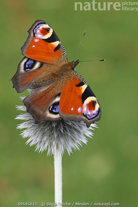 Peacock Butterfly (Inachis io), Netherlands  ,  Adult, Butterfly, Color Image, Day, Full Length, Inachis io, Netherlands, Nobody, One Animal, Outdoors, Peacock Butterfly, Photography, Top View, Vertical, Wildlife, Wings Open,Peacock Butterfly,Netherlands,Adult, Butterfly, Color Image, Day, Full Length, Inachis io, Netherlands, Nobody, One Animal, Outdoors, Peacock Butterfly, Photography, Top View, Vertical, Wildlife, Wings Open  ,  Silvia Reiche