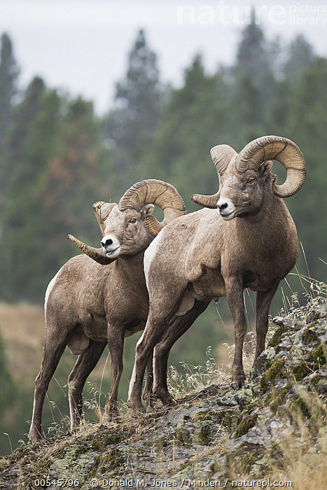 Bighorn Sheep (Ovis canadensis) rams, western Montana, Adult, Bighorn Sheep, Color Image, Day, Full Length, Male, Montana, Nobody, Outdoors, Ovis canadensis, Photography, Ram, Side View, Togetherness, Two Animals, Vertical, Wildlife,Bighorn Sheep,Montana, USA, Donald M. Jones
