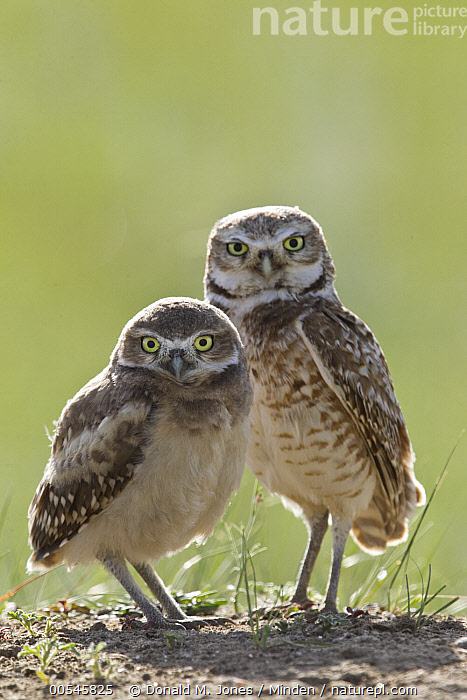 Burrowing Owl (Athene cunicularia) parent and owlet at burrow, Montana, Adult, Athene cunicularia, Baby, Burrowing Owl, Burrow, Chick, Color Image, Day, Full Length, Looking at Camera, Montana, Nobody, Outdoors, Owlet, Parent, Photography, Raptor, Side View, Togetherness, Two Animals, Vertical, Wildlife,Burrowing Owl,Montana, USA, Donald M. Jones